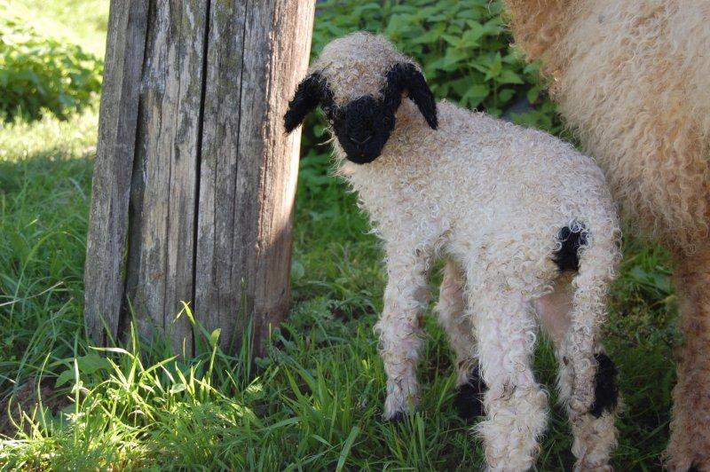 mladič švicarske črnonose ovce
