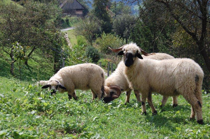 švicarske črnonose ovce